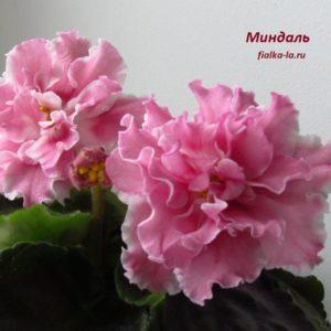 СМ-Миндаль (Сеянец Морева К.)
