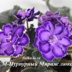 СМ-Пурпурный Мираж-люкс (Сеянец Морева К.)