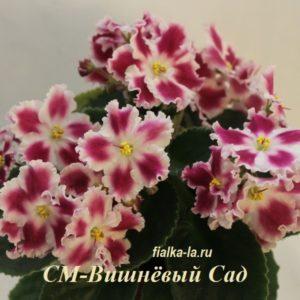 СМ-Вишнёвый Сад (Сеянец Морева К.)