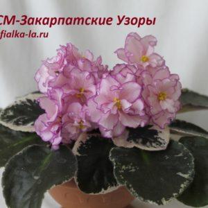 СМ-Закарпатские Узоры (Сеянец Морева К.)