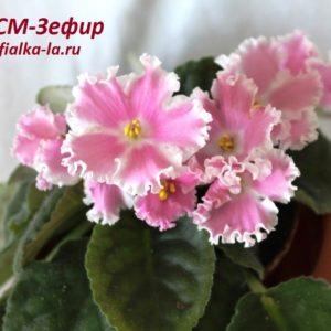 СМ-Зефир (Сеянец Морева К.)