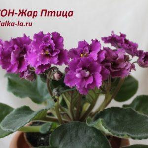 СОН-Жар Птица (О.Семикина)