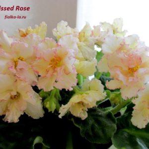 Sunkissed Rose (Sorano)