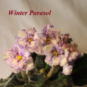 Winter Parasol (Sorano)