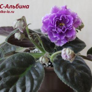 РС-Альбина (Репкина С.)