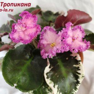 РС-Тропикана (Репкина С.)