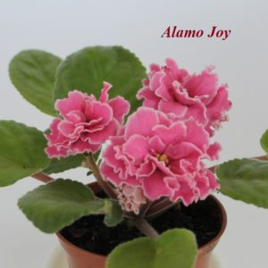 Alamo Joy