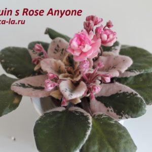 Cajun s Rose Anyone