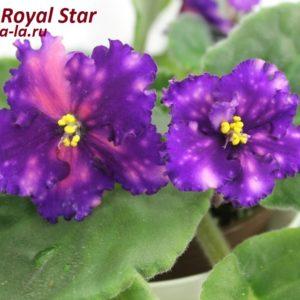 Dn-Royal Star