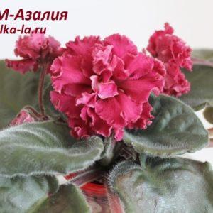 СМ-Азалия (К.Морев)