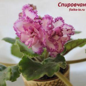 Спировчанка (К.Морев)