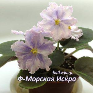 Ф-Морская Искра (Фиалковод)