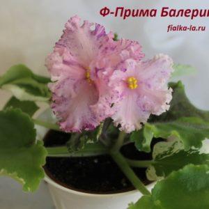 Ф-Прима Балерина (Фиалковод)